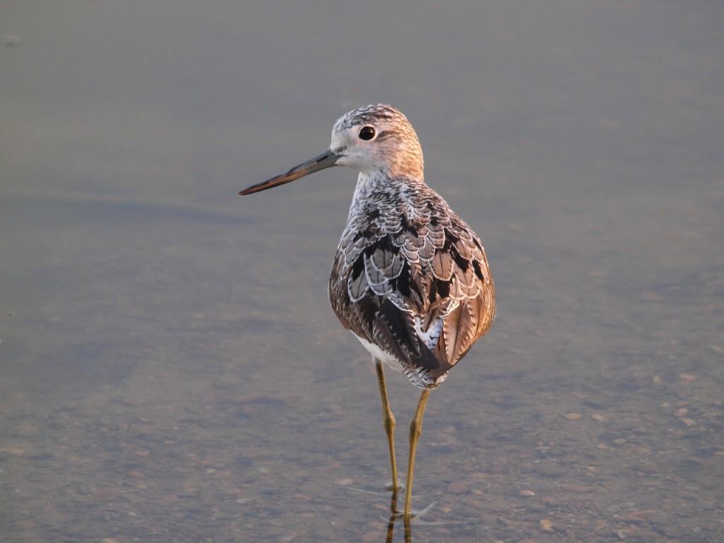 野池のアオアシシギ1