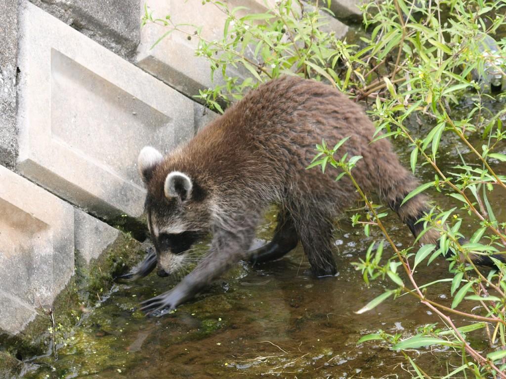 2010年9月-野生のアライグマ2