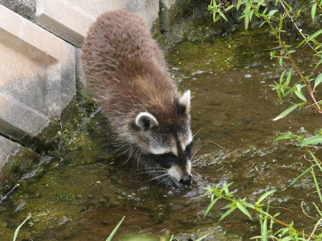 2010年9月-野生のアライグマ4
