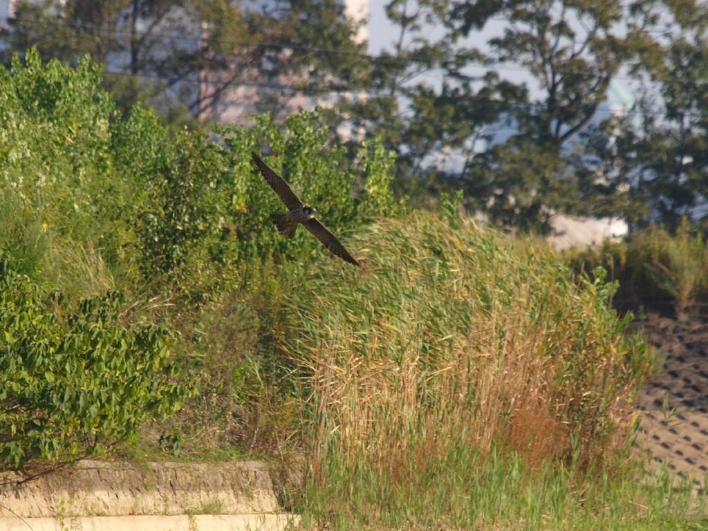 水辺の鳥を襲うハヤブサ1