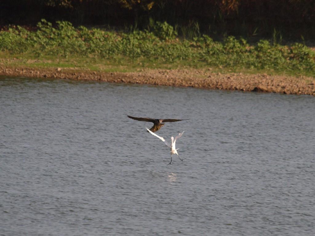 水辺の鳥を襲うハヤブサ2