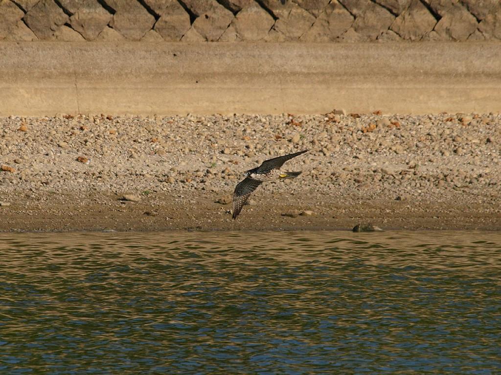 水辺の鳥を襲うハヤブサ3