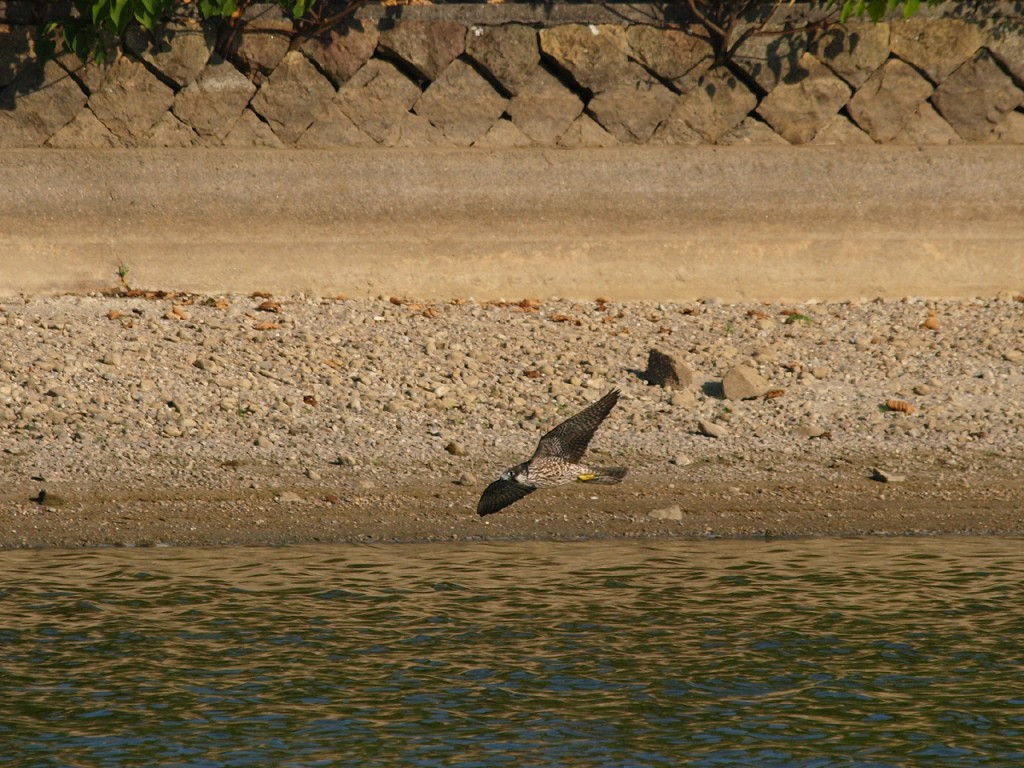 水辺の鳥を襲うハヤブサ4