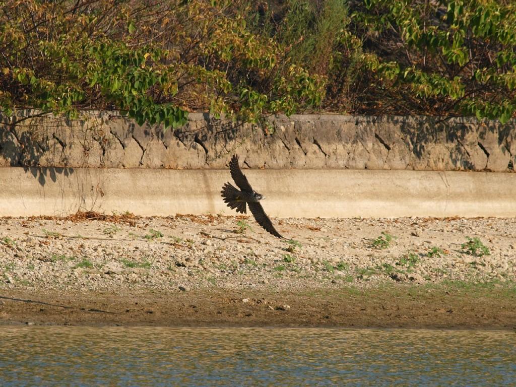 水辺の鳥を襲うハヤブサ5
