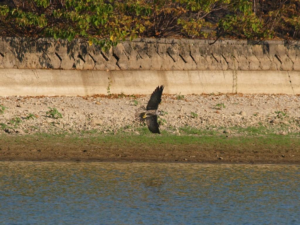 水辺の鳥を襲うハヤブサ6