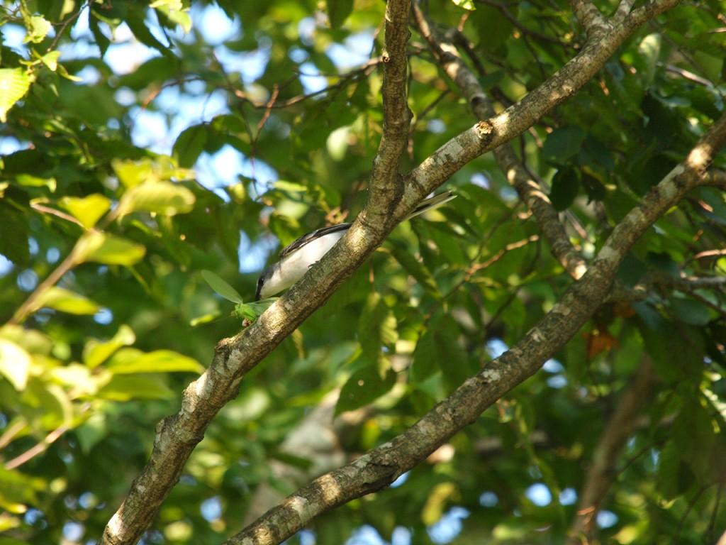 雌剛山のシジュウカラ幼鳥