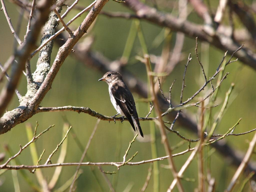 オオルリ幼鳥メス-2010-10-02