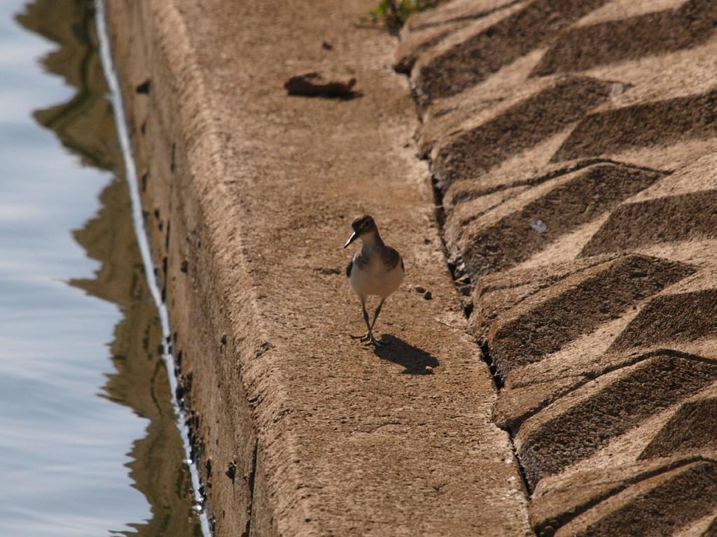 シギ幼鳥2-2010-10-02
