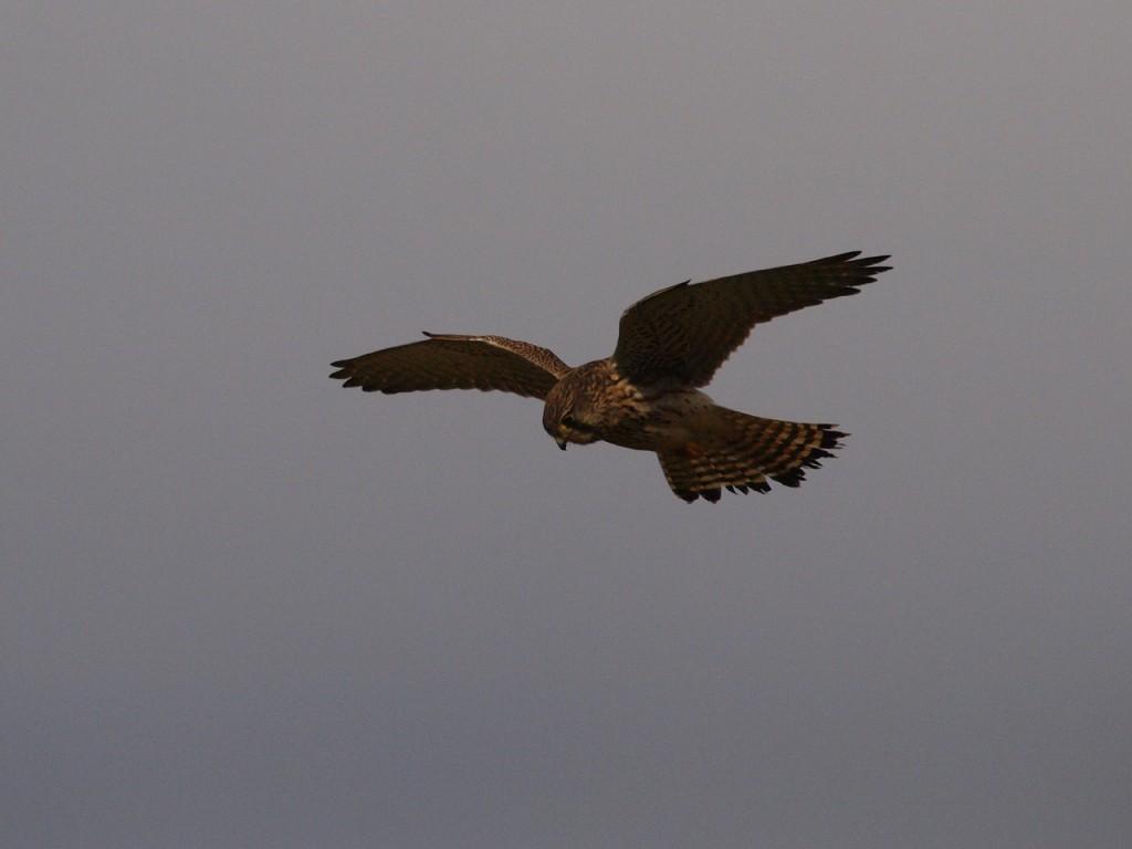 コチョウゲンボウ-2010-12-25