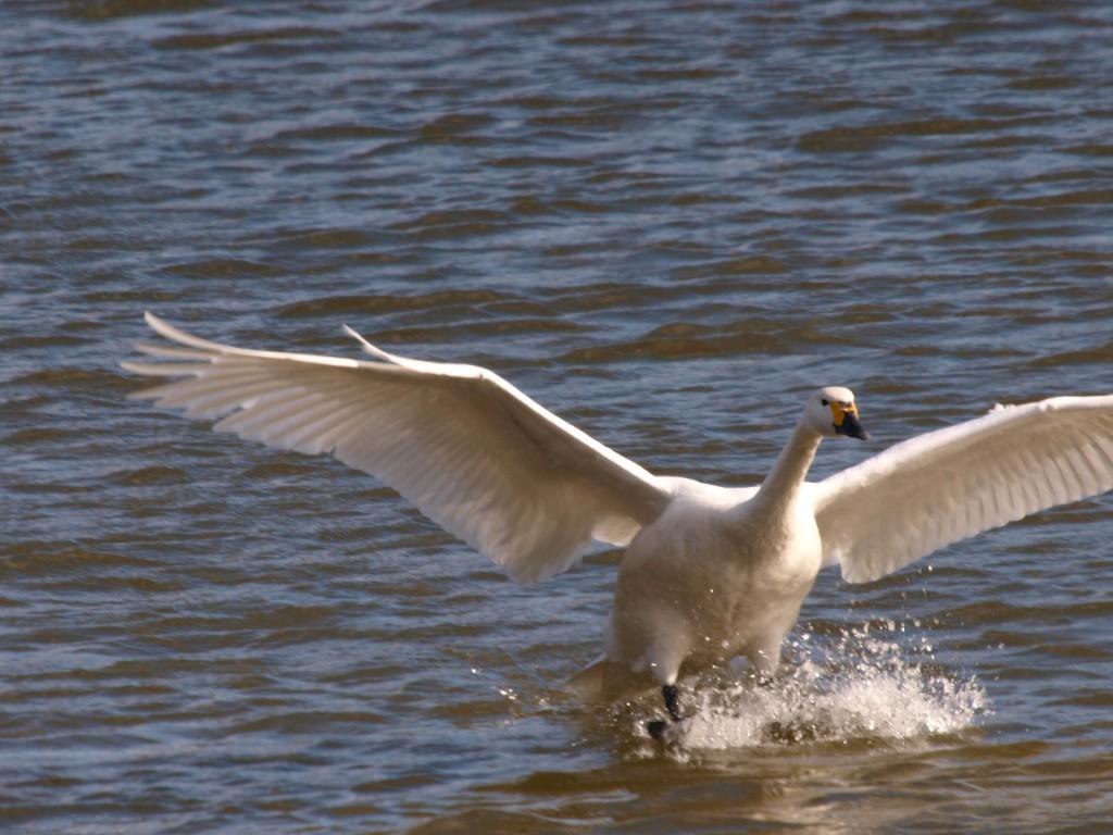 鴨池ハクチョウ2011-1-16