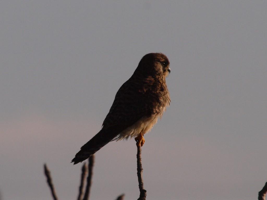 コチョウゲンボウ-2011-1-8