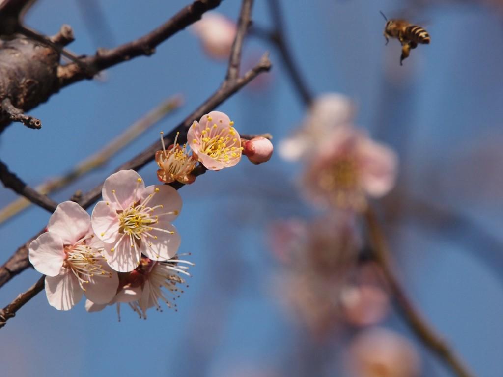 白梅とミツバチ-2011-2-27