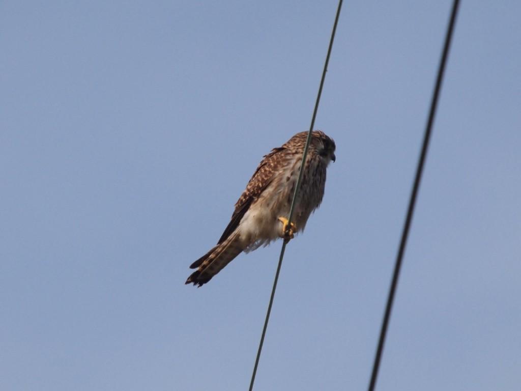 チョウゲンボウ-2011-3-5