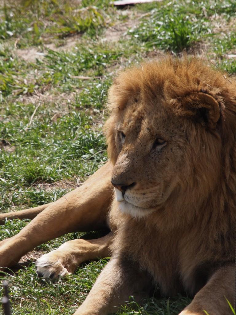 ライオン雄1-2011-3-18