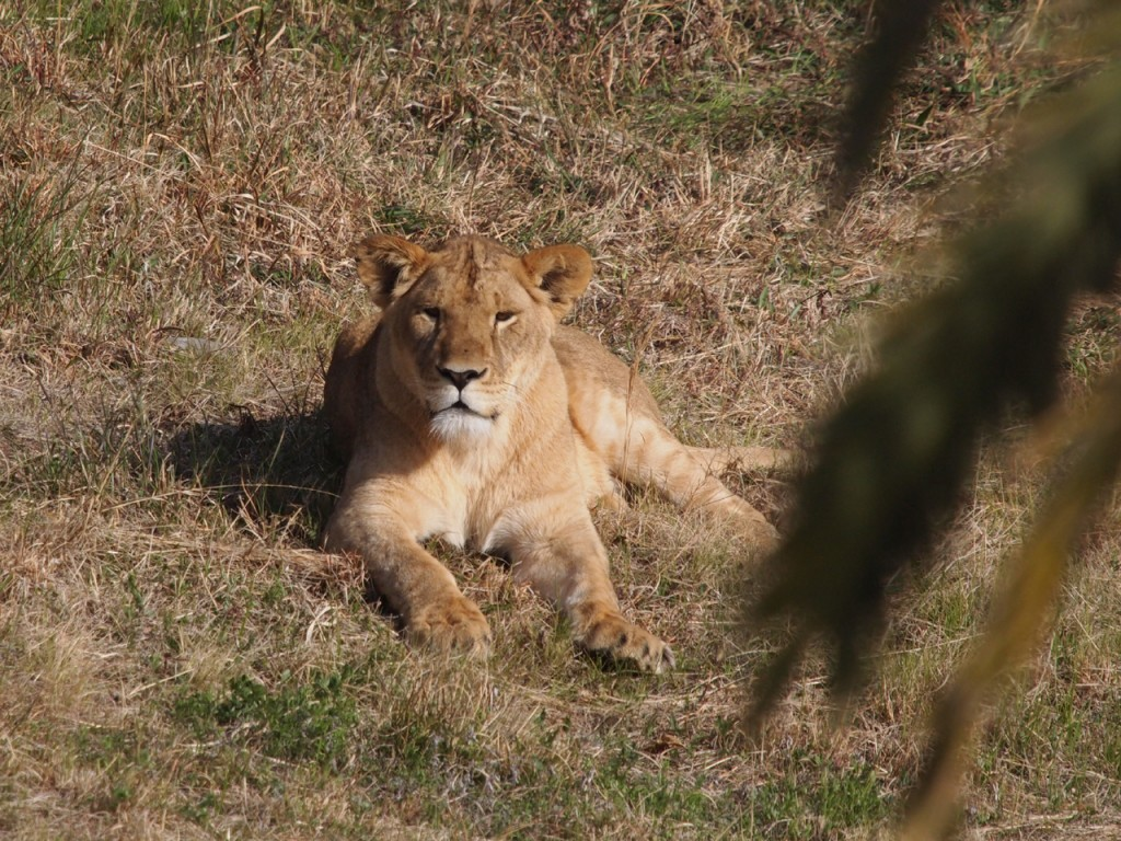 ライオンメス1-2011-3-18