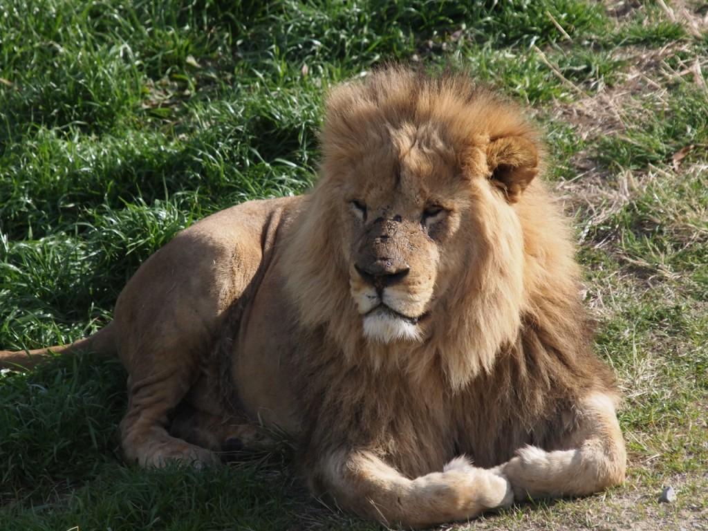 ライオン雄2-2011-3-18