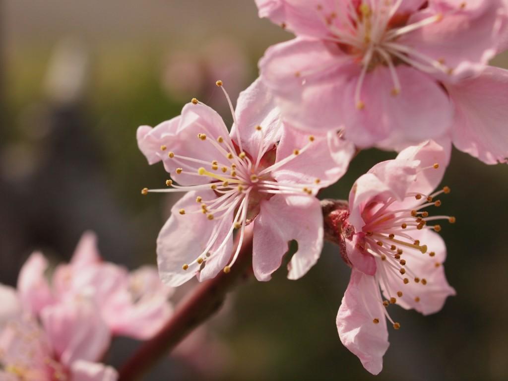桃の花-2011-4-9接写