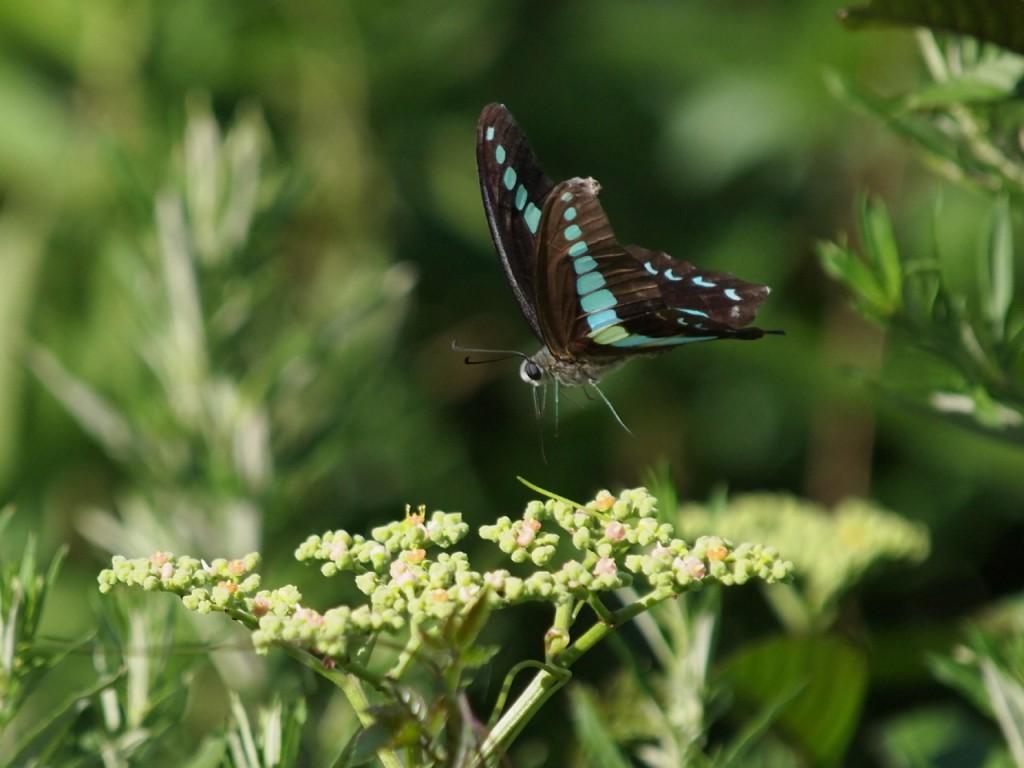 アオスジアゲハ-2011-7-10