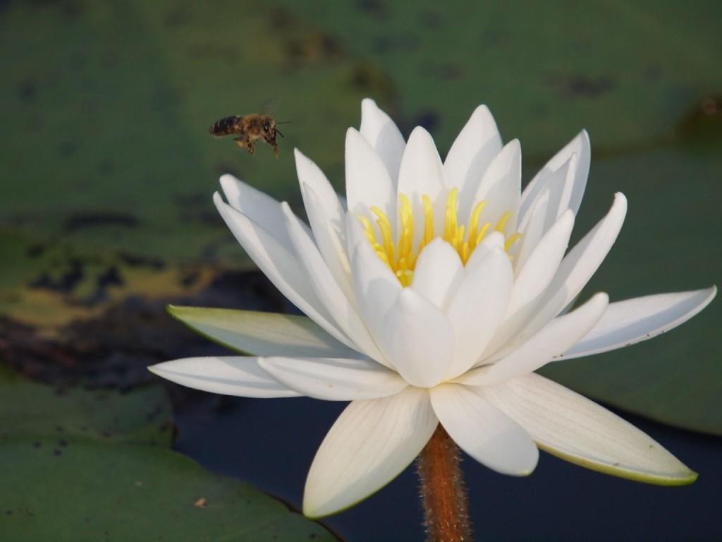 水連のミツバチ