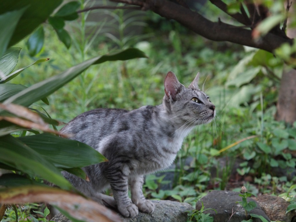 セミを狙う野良猫-2011-7-31