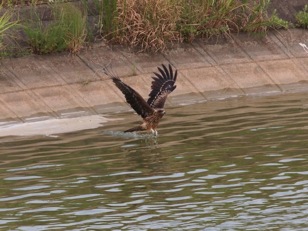 トビのオタマ狩り1-2011-7-31