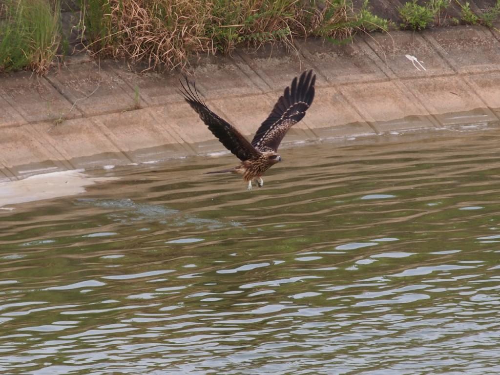 トビのオタマ狩り2-2011-7-31