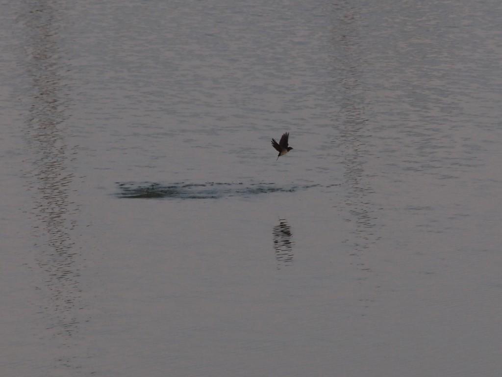 ツバメの水面の捕食-2011-7-31