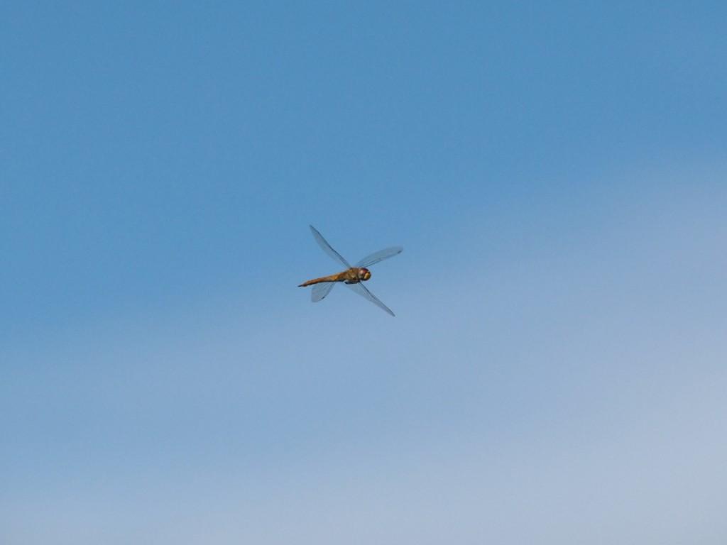 ウスバキトンボ-2011-7-10