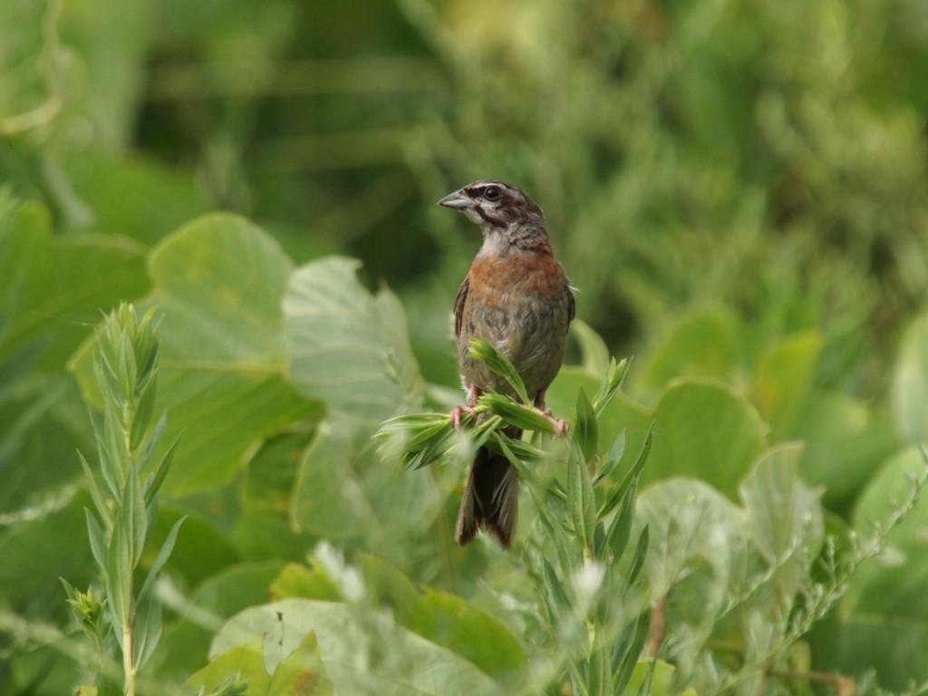 ホオジロ幼鳥-2011-8-27