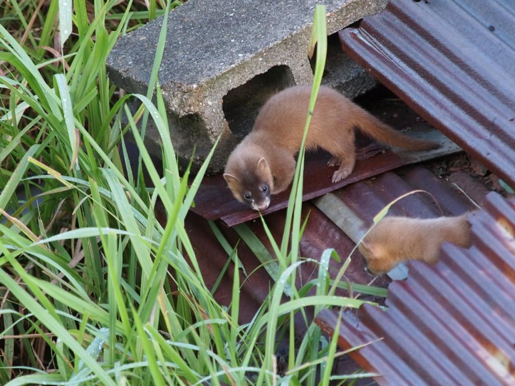 イタチの子供1-2011-8-26