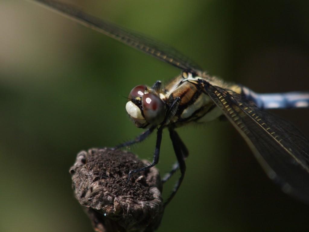 シオカラトンボ-2011-8-6