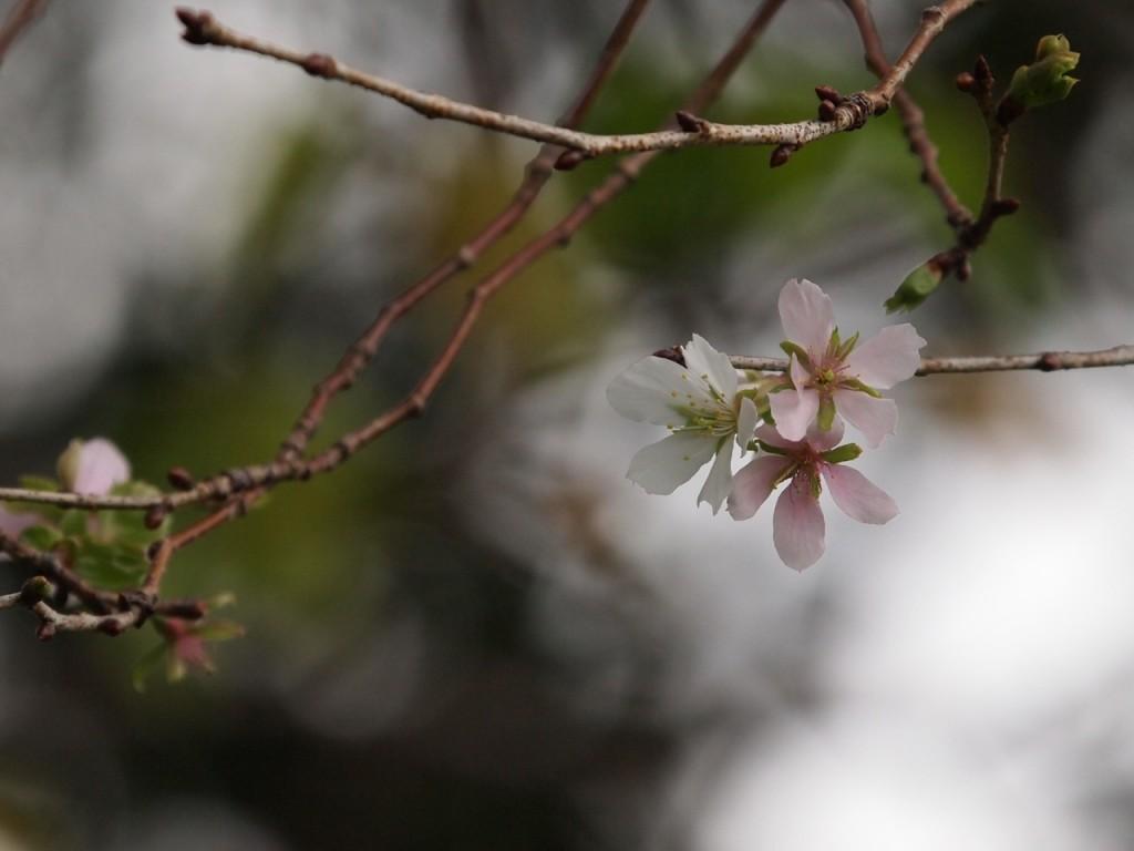 秋の桜-2011-10-02