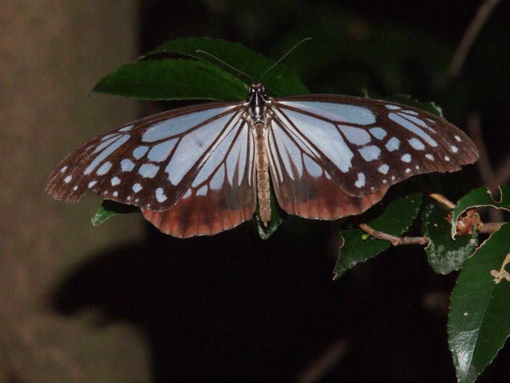 アサギマダラ-2011-10-15