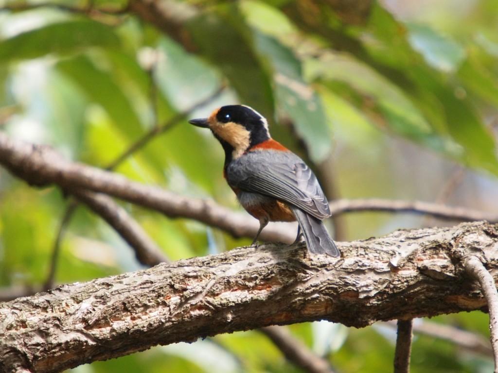 ヤマガラ-2011-10-29