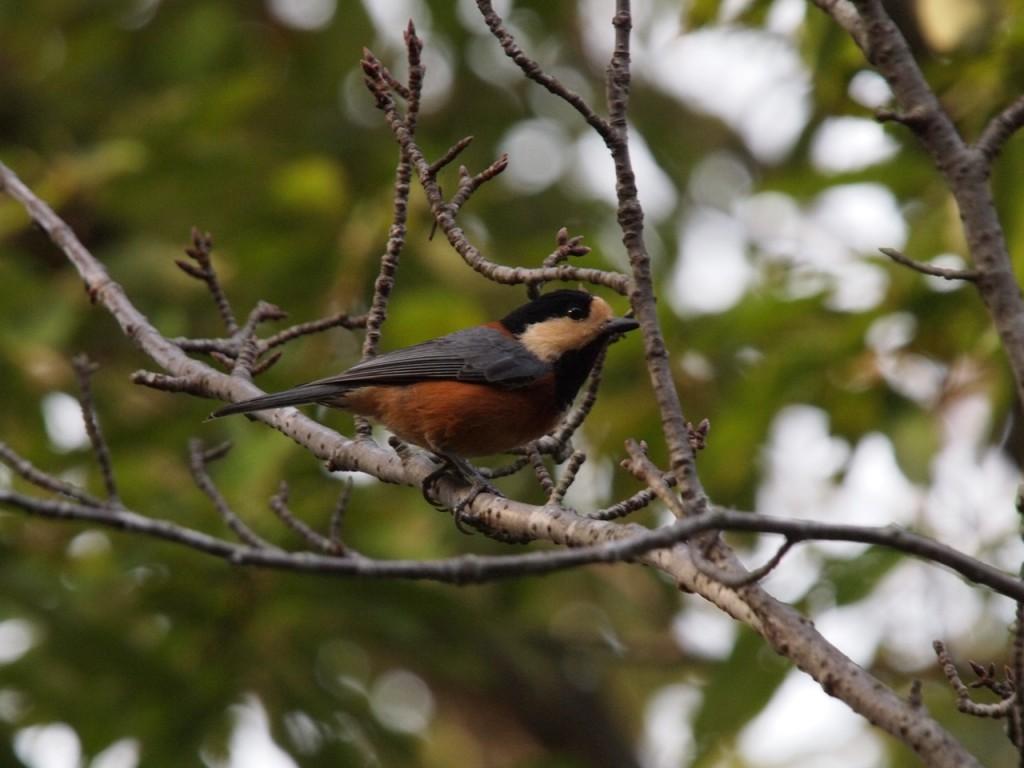 ヤマガラ-2011-11-12