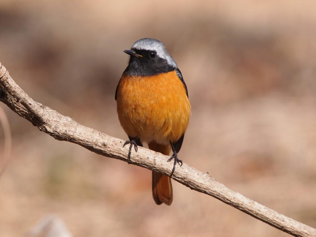 雌剛山のジョウビタキ1-2012-1-29