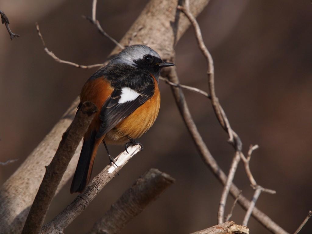 雌剛山のジョウビタキ2-2012-1-29