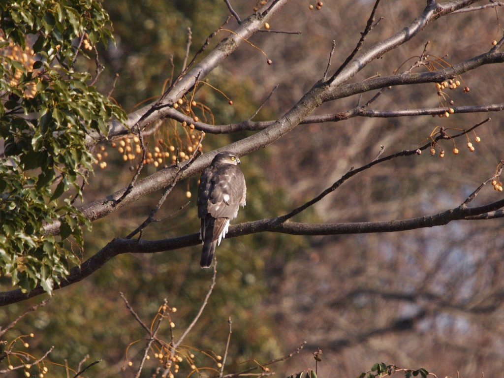 雌剛山のオオタカ2-2012-1-29