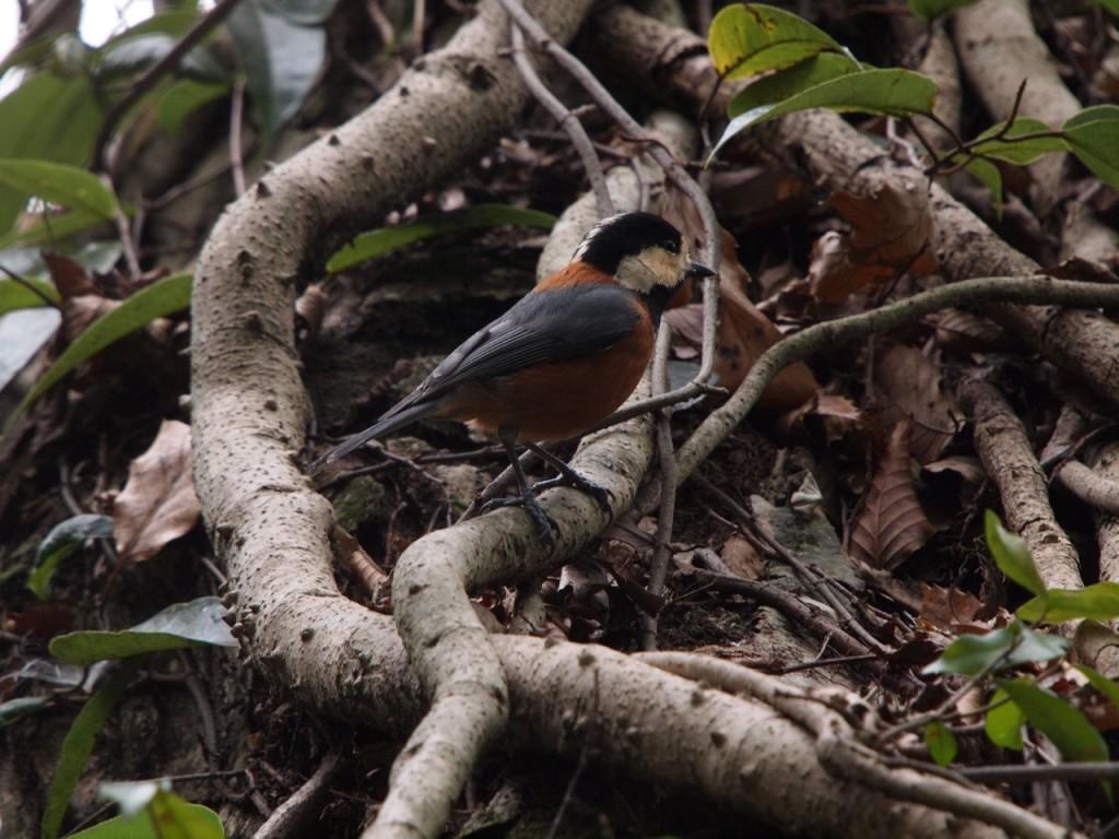 雌剛山のヤマガラ-2012-1-29