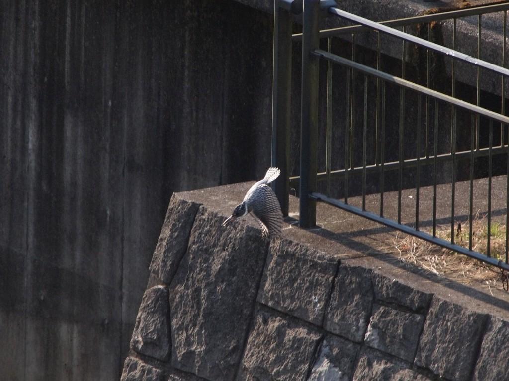 ヤマセミ-飛び出しの羽-2012-12-16