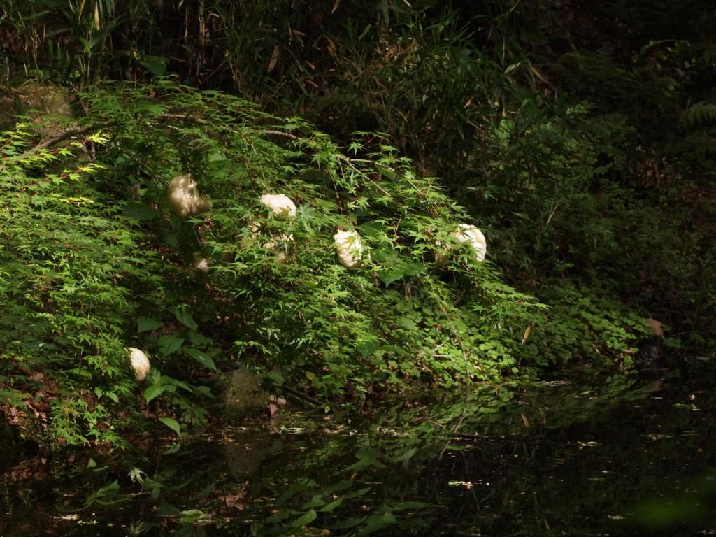 モリアオガエルの卵-2013-5-18