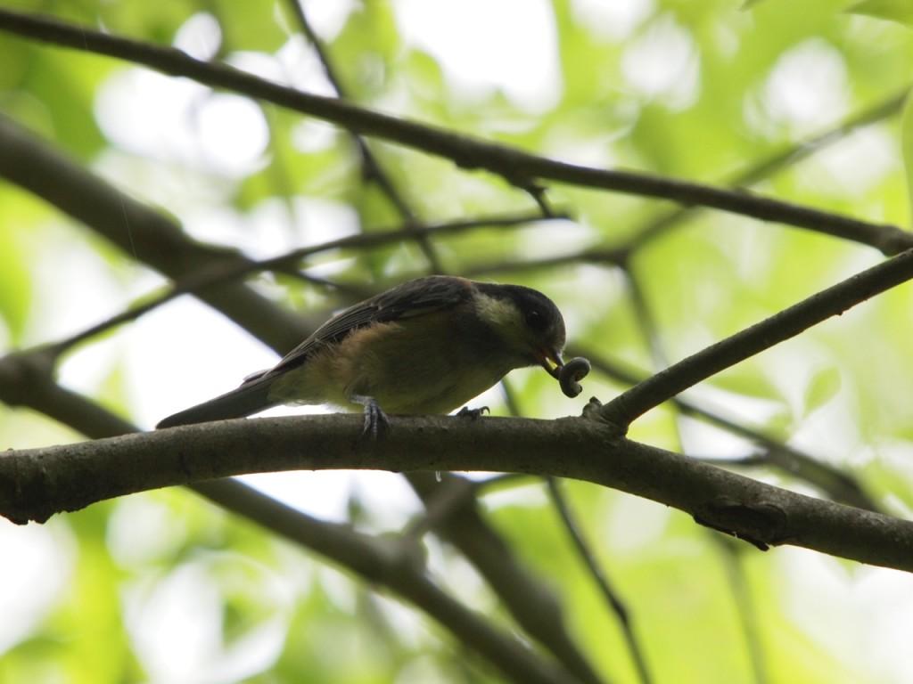 ヤマガラ幼鳥-2013-5-18