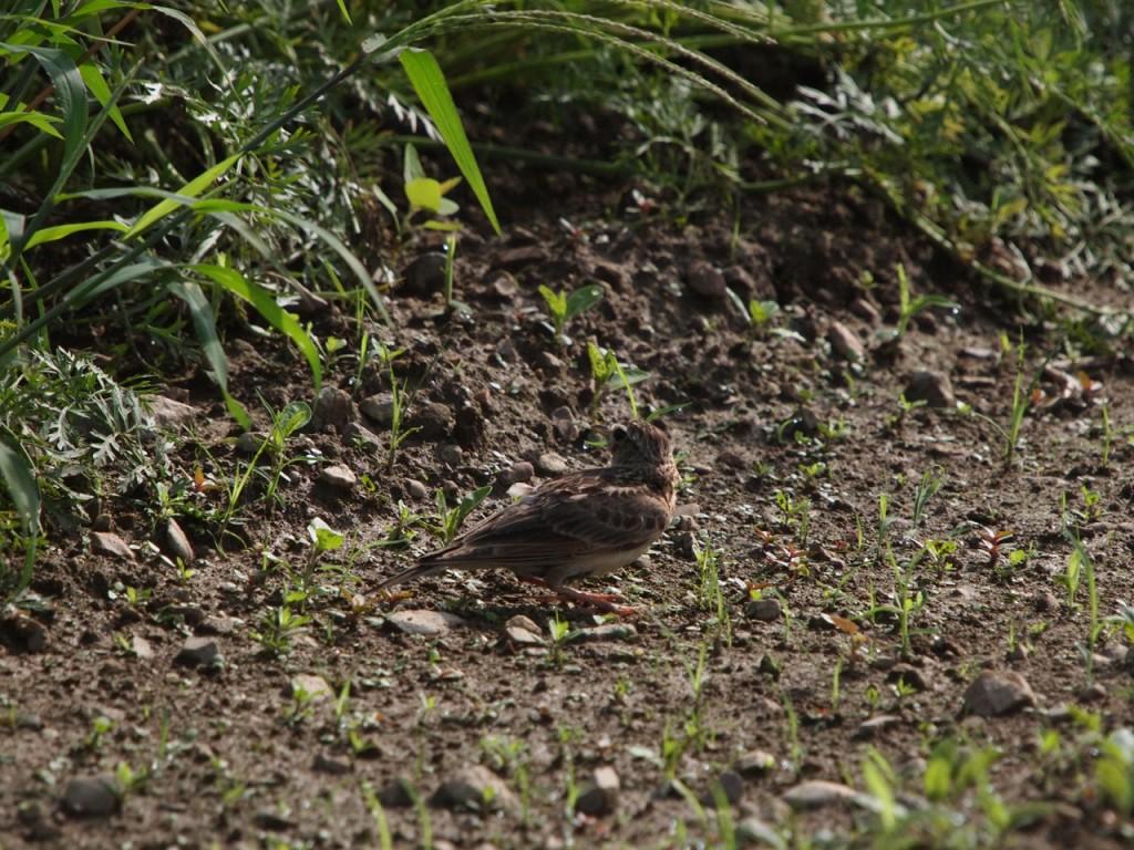 ヒバリの幼鳥2013-7-6