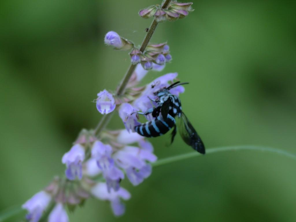 BlueBeeルリモンハナバチ-2014-7-26