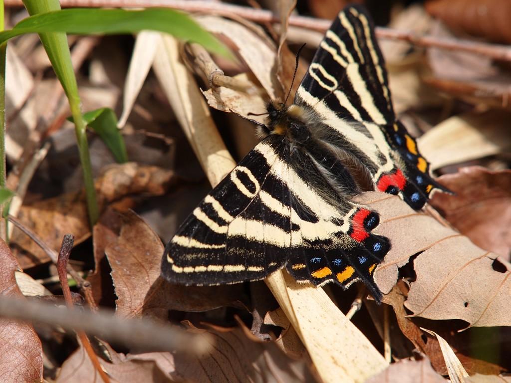 神出町雌岡山で自然繁殖したギフチョウ1-2015-4-12
