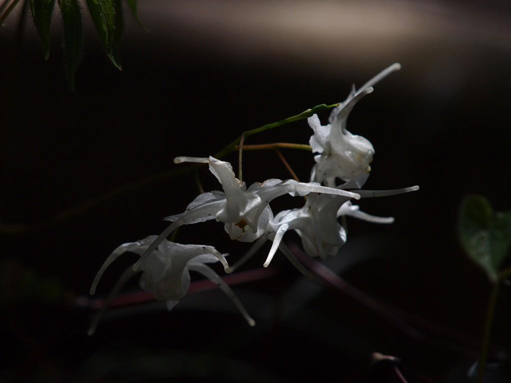 神出町雌岡山のイカリソウ2015-4-4