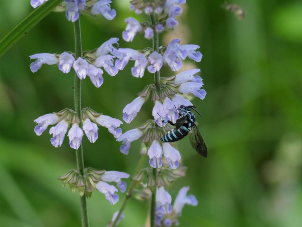 雌岡山のルリモンハナバチ-2015-7-25