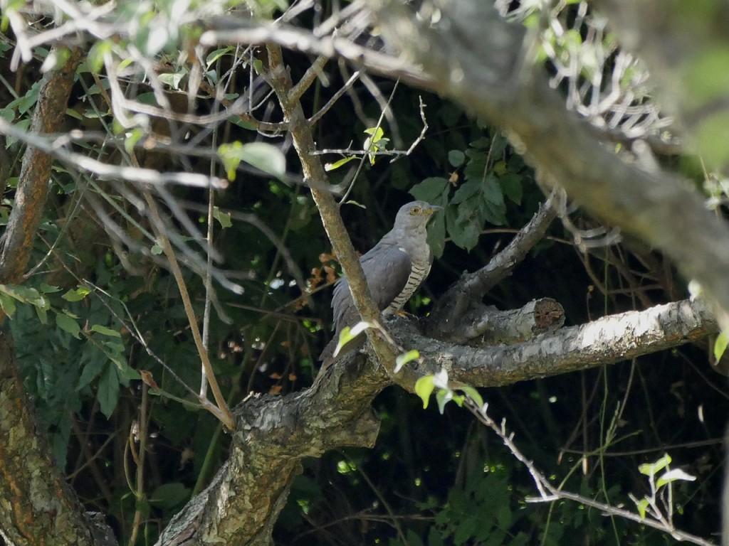 雌岡山のツツドリ-2016-8-20